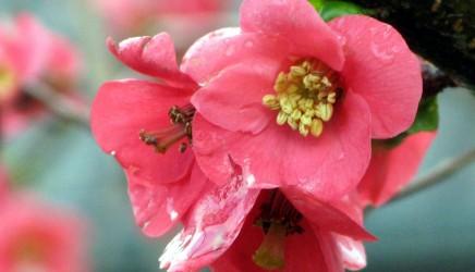 japan-quince-flower1