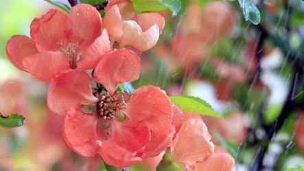 japan-quince-flower2