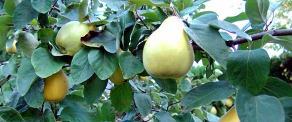 quince-russian